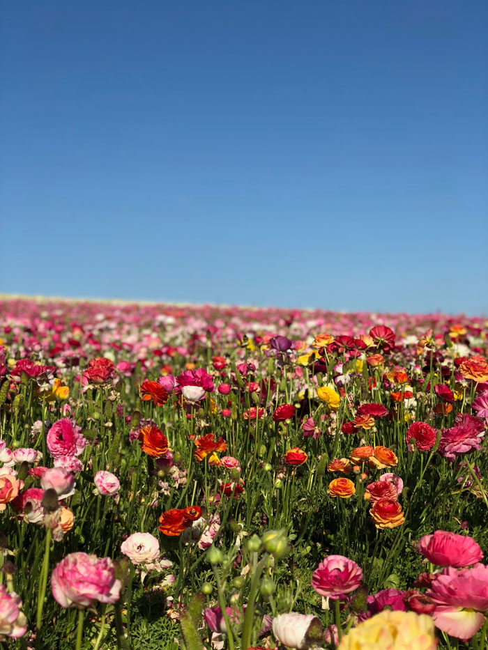 Private jet to the flower fields in Carlsbad California with pink flowers and blue sky